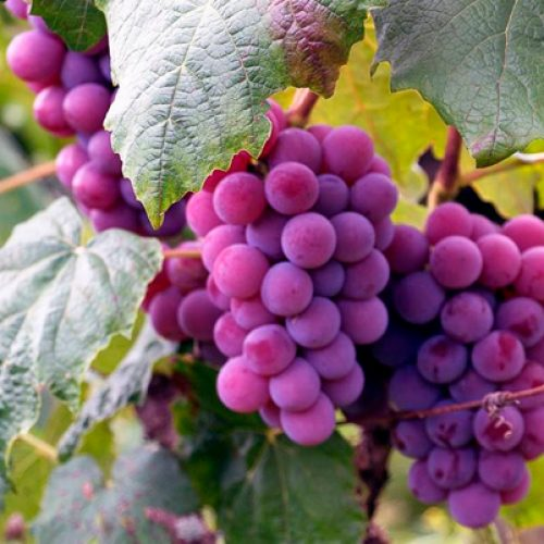 """Primer Coloquio de Biología Vegetal 2021: """"Identification of genetic determinants associated to quality in table grapes"""" – Claudia Muñoz – """"Intracellular signaling: From the endoplasmic reticulum to the nucleus, on step at the time"""" – Adrián Moreno, 9 de Abril, 16:00 hrs."""